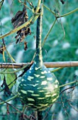 SPECKLED SWAN GOURD IN BILL SMITH AND DENNIS SCHRADERS GARDEN  LONG ISLAND  USA