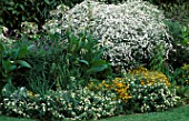 BOLTONIA  LANTANA DENHOLM WHITE  ZINNIA YELLOW STAR AND NICOTIANA SYLVESTRIS IN BILL SMITH AND DENNIS SCHRADERS GARDEN