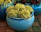 TURQUOISE CONTAINER WITH CAREX EVERGOLD. IN THE BACKGROUND IS SKIMMIA REEVESIANA. THE NICHOLS GARDEN  READING