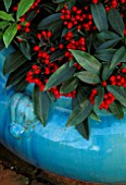 TURQUOISE CONTAINER WITH THE RED BERRIES OF SKIMMIA REEVESIANA. THE NICHOLS GARDEN  READING