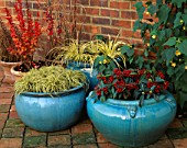 TURQUOISE CONTAINERS PLANTED WITH CAREX EVERGOLD  ACORUS GRAMINEUS OGON  SKIMMIA REEVESIANA AND BERBERIS THUNBERGII RED PILLAR BEHIND. THE NICHOLS GARDEN  READING