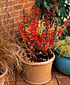 TERRACOTTA CONTAINERS WITH BERBERIS THUNBERGII RED PILLAR & MISCANTHUS SINENSIS. BEHIND ARE TURQUOISE POTS OF CAREX EVERGOLD. THE NICHOLS GARDEN  READING
