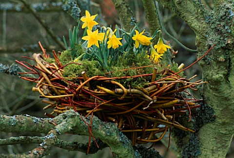 MAN_MADE_BIRDS_NEST_LINED_WITH_MOSS_AND_PLANTED_WITH_NARCISSUS_MIDGET_DESIGNED_BY_IVAN_HICKS_GROOMBR