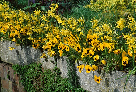 NARCISSUS_TETEATETE_AND_PANSIES_IN_RAISED_TROUGH_LORD_LEYCESTER_HOSPITAL_GARDEN__WARWICK