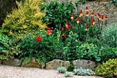LAUNA SLATTERS GARDEN  OXON: RAISED BORDER WITH KNIPHOFIA ATLANTA  POPPIES  ALCHEMILLA MOLLIS AND LONICERA NITIDA BAGGESENS GOLD