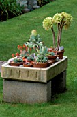 COLIN AND RUTH LORKINGS GARDEN  SUFFOLK: A COLLECTION OF NON HARDY SUCCULENT PLANTS INCLUDING AN AEONIUM