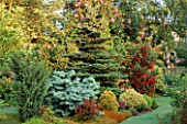 CONIFER BED WITH ABIES CONCOLOR COMPACTA  ABIES KOREANA AND CRINODENDRON HOOKERIANUM. MR FEARONS GARDEN  BARNSLEY  YORKSHIRE