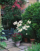 TERRACE WITH POTS OF LILIUM REGALE AND PELARGONIUM LOBATUM LORD BUTE WITH ROSA CHINENSIS MUTABILIS BEHIND. DESIGNER SHEILA STEDMAN