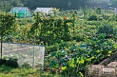 GENERAL VIEW OF ALLOTMENTS WITH SWISS CHARD  GREENHOUSES AND BEANS