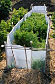 CARROTS IN AN ALLOTMENT PROTECTED FROM WHITEFLY BY WHITE SHEETING