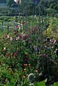 SWEET PEAS AND CALIFORNIAN POPPIES (ESCHSCHOLZIA CALIFORNICA) GROWING ON AN ALLOTMENT