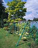 BLUE PAINTED SWINGS BACKED BY BLUE FENCE WITH NASTURTIUMS  GOLDEN HOP AND ROBINIA FRISIA. THE NICHOLS GARDEN  READING