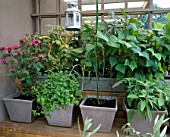 CITY ROOF TERRACE GARDEN WITH BERGAMOT (MONARDA)  HARIOT BEAN PURPLE DUKE   SALVIA AND MINT IN METAL POTS.  HEDENS LUSTGARD  SWEDEN
