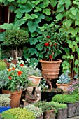 CITY ROOF TERRACE GARDEN WITH TERRACOTTA POT PLANTED WITH RED PEPPERS.  HEDENS LUSTGARD  SWEDEN