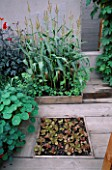CITY ROOF TERRACE GARDEN WITH SWEETCORN  WOODEN DECKING AND LETTUCES PLANTED IN SQUARE BED. HEDENS LUSTGARD  SWEDEN