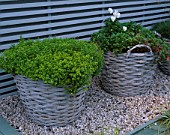 CITY ROOF TERRACE GARDEN WITH BASKET PLANTED WITH THYME AND PANSIES. HEDENS LUSTGARD  SWEDEN