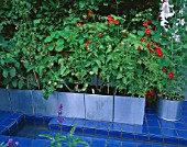CITY ROOF TERRACE GARDEN: BLUE CERAMIC TILES AND RILL  WITH METAL CONTAINERS PLANTED WITH TOMATOES AND NASTURTIUMS. HEDENS LUSTGARD  SWEDEN