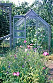POPPIES AND GREENHOUSE IN AN ALLOTMENT