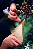 SEED HEADS OF NICOTIANA SYLVESTRIS BEING COLLECTED INTO A BROWN PAPER ENVELOPE BY ROBERT