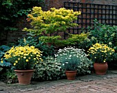 COURTYARD WITH ACER AND POTS OF ARGYRANTHEMUM JAMAICA PRIMROSE. COTTESBROOKE HALL  NORTHAMPTON