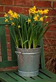 GALVANISED METAL CONTAINER PLANTED WITH NARCISSUS TETE-A-TETE