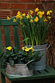 GALVANISED METAL CONTAINERS PLANTED WITH NARCISSUS TETE-A-TETE AND PRIMULA JESSICA