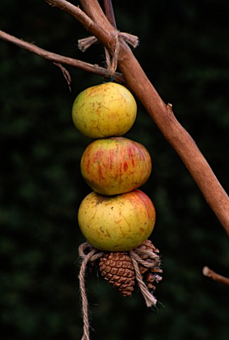 APPLES_AND_FIR_CONES__TIED_WITH_HAIRY_TWINE_TO_THE_RUSTIC_BIRDFEEDER