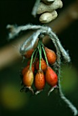 ROSE HIPS AND PEANUTS  TIED WITH HAIRY TWINE TO THE RUSTIC BIRDFEEDER