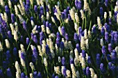 MUSCARI BOTRYOIDES AND MUSCARI BOTRYOIDES ALBUM