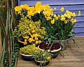 YELLOW THEMED CONTAINERS ON DECK: TULIP GOLDEN GIRL  NARCISSUS YELLOW CHEERFULNESS  PANSIES  GOLDEN MARJORAM  SEMPERVIVUMS AND TULIPA TARDA