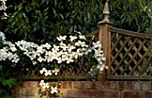 WOODEN TRELLIS WITH CLEMATIS MONTANA