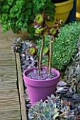 AEONIUM ATROPURPUREUM IN PINK PAINTED POT  WITH A MULCH OF GREY SLATE. DESIGNER: CLARE MATTHEWS