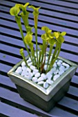 SARRACENIA FLAVA (TRUMPETS) IN SILVERED CERAMIC POT WITH CLEAR GLASS AND WHITE PEBBLE MULCH.  DESIGNER: CLARE MATTHEWS