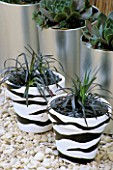 ZEBRA POTS PLANTED WITH OPHIOPOGON PLANISCAPUS NIGRESCENS. DESIGNED BY CLARE MATTHEWS