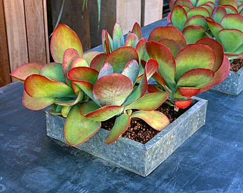 AFRICAN_THEMED_ROOF_TERRACE_GALVANISED_TRAY_ON_ZINCWRAPPED_TABLE_PLANTED_WITH_KALANCHOE_THYRSIFLORA_