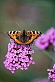 SMALL TORTOISESHELL BUTTERFLY ON VERBENA BONARIENSIS