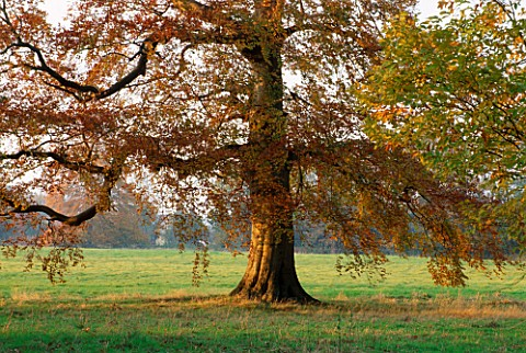 LATE_AFTERNOON_SUNLIGHT_BRUSHES_A_BEECH_TREE_IN_AUTUMN_AT_THE_HARCOURT_ARBORETUM__OXFORDSHIRE