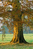LATE AFTERNOON SUNLIGHT BRUSHES A BEECH TREE IN AUTUMN AT THE HARCOURT ARBORETUM  OXFORDSHIRE