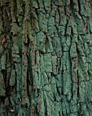 BARK OF THE ENGLISH OAK  QUERCUS ROBER  AT THE HARCOURT ARBORETUM  OXFORDSHIRE