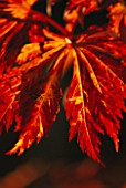 THE LEAVES OF ACER JAPONICUM ACONITIFOLIUM IN THE WOODLAND GADRDEN AT ENGLEFIELD HOUSE  BERKSHIRE  IN AUTUMN