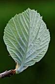 EMERGING LEAF OF SORBUS THIBETICA JOHN MITCHELL
