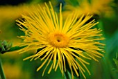 CLOSE-UP OF INULA MAGNIFICA SONNESTRAHL  (NOT TO BE USED FOR PACKAGING)