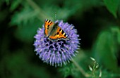 SMALL TORTOISESHELL BUTTERFLY ON ECHINOPS RITRO