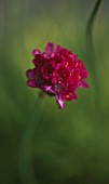 ARMERIA MARITIMA NIFTY THRIFTY USED IN  CLARE MATTHEWS PROJECT