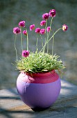 ARMERIA MARITIMA NIFTY THRIFTY IN PINK AND MAUVE CONTAINER. CLARE MATTHEWS PROJECT