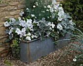 LAUNA SLATTERS GARDEN  OXFORDSHIRE: OLD GALAVNIZED WATER TROUGH PLANTED WITH ARGYRANTHEMUM  PETUNIAS  BUSY LIZZIES  SENECIO AND ELYMUS MAGELLANICUS