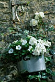 LAUNA SLATTERS GARDEN OXFORDSHIRE: OLD ALUMINIUM COOKING POT PLANTED WITH HELICHRYSUM  PETUNIA AND ROSE WHITE COCKADE