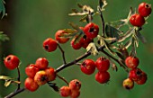 CRATAEGUS LACINIAITA AT PETTIFERS  OXFORDSHIRE