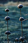FROSTED SEED HEADS OF PHLOMIS RUSSELIANA IN VAL BOURNES GARDEN  OXFORDSHIRE