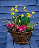 CONTAINER: BASKET PLANTED WITH PINK PRIMULA AND NARCISSUS TETE - A - TETE. DESIGNER: CLARE MATTHEWS